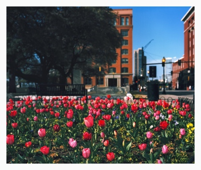 Tulips - Dealey Plaza | Dallas TX | 2013